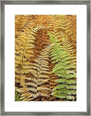 Hay-scented Ferns Framed Print by Alan L Graham
