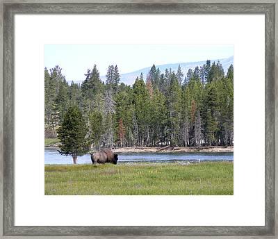 Hayden Valley Bison Framed Print