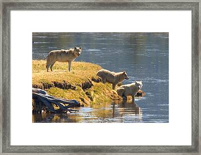 Hayden Valley Pack Framed Print by Aaron Whittemore