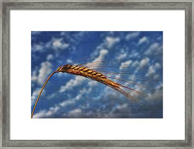 Haymaker Framed Print