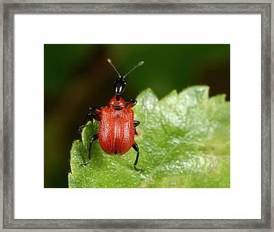 Hazel Leaf-roller Weevil Framed Print by Nigel Downer