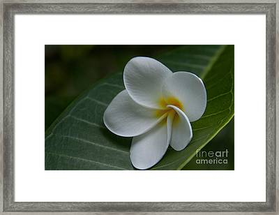 He Aloha No O Waianapanapa - White Tropical Plumeria - Maui Hawaii Framed Print by Sharon Mau