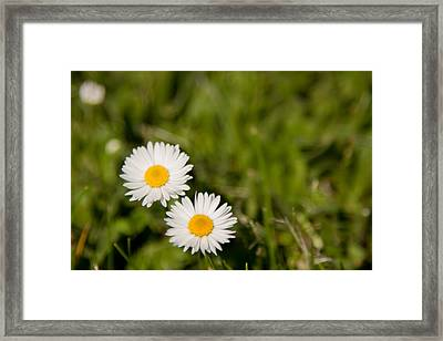 He Loves Me He Loves Me Not Framed Print