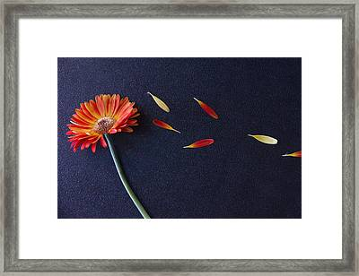 He Loves Me He Loves Me Not He Loves Me Framed Print