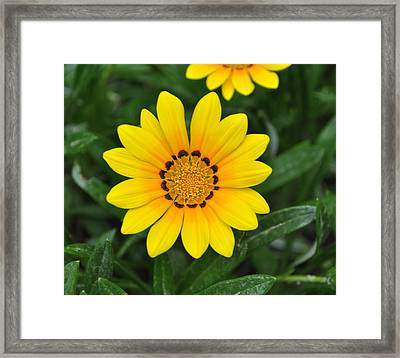 Framed Print featuring the photograph He Loves Me  He Loves Me Not by Lew Davis