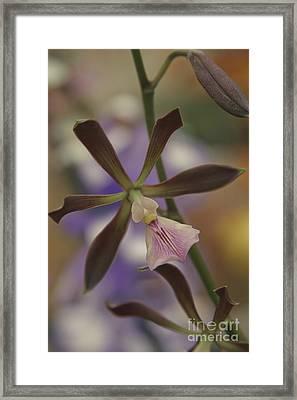 He Pua Ke Aloha - The Flower Of Love - Orchidea Tropicale Framed Print by Sharon Mau