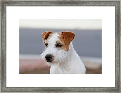 Head And Shoulders Parson Russell Framed Print by Piperanne Worcester