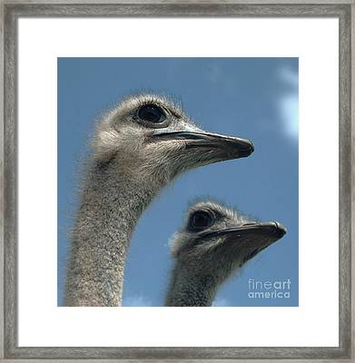 Head Of A Female Ostrich Framed Print by Nigel Cattlin