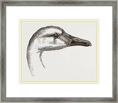 Head Of Bewicks Swan Framed Print by Litz Collection