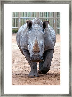 Head On Framed Print by Tim Stanley