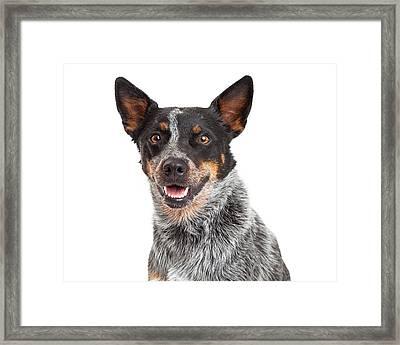 Head Shot Of An Australian Cattle Dog Framed Print by Susan Schmitz