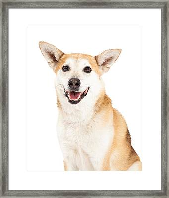 Head Shot Of  Australian Cattle And Shiba Inu  Mix Dog Framed Print by Susan Schmitz