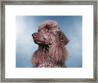 Head Shot Of French Poodle Looking Framed Print