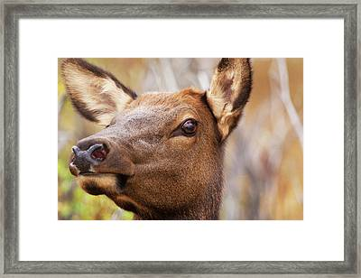 Headshot Of Elk Cow, Rocky Mountain Framed Print by Piperanne Worcester