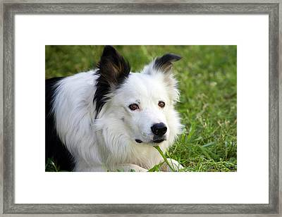 Headshot Of Purebred Border Collie Framed Print by Piperanne Worcester