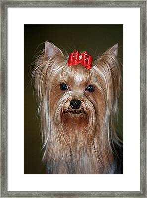 Headshot Of Show Yorkshire Terrier Framed Print by Piperanne Worcester