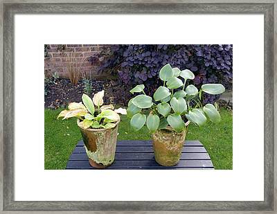 Healthy And Unhealthy Plants Compared Framed Print by Trevor Clifford Photography