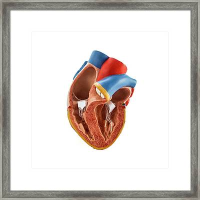 Heart Anatomy Model Framed Print by Science Photo Library