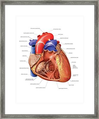 Heart And Right Ventricle Framed Print