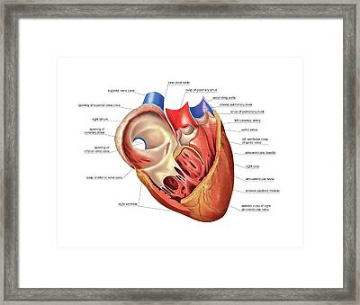 Heart Atrium And Ventricle Framed Print by Asklepios Medical Atlas