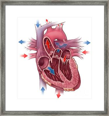 Heart Blood Flow Framed Print