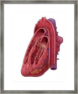 Heart Cross Section, Illustration Framed Print