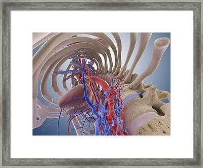 Heart-lung System, Artwork Framed Print