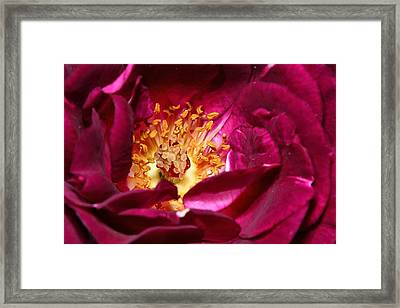 Heart O' The Rose Framed Print by Mike Farslow