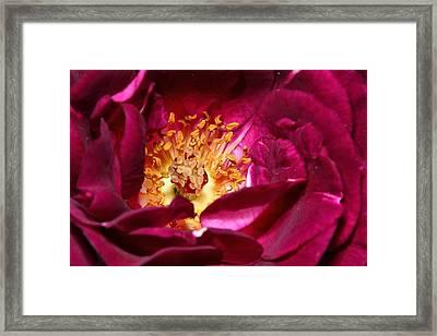 Heart O' The Rose Framed Print