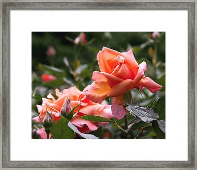 Heart Of Gold Roses Framed Print