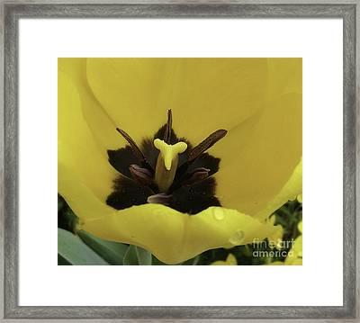 Heart Of The Tulip Framed Print by Arlene Carmel