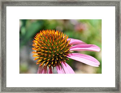 Heart Of Thorns  Framed Print by Ashley Fortier