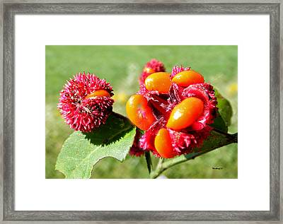 Hearts-a-bursting Seed Pods Framed Print by Duane McCullough