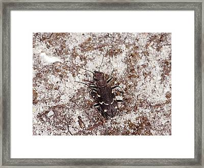 Heath Tiger Beetle Framed Print by Bob Gibbons