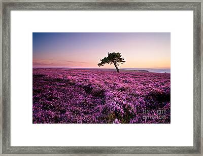 Heather At Sunset Egton Moor Framed Print by Janet Burdon