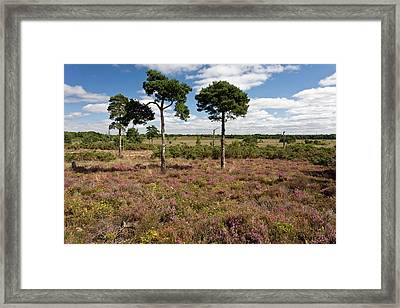 Heathland Framed Print by Bob Gibbons