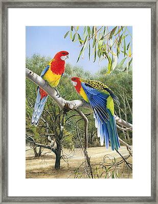 Heatwave - Eastern Rosellas Framed Print