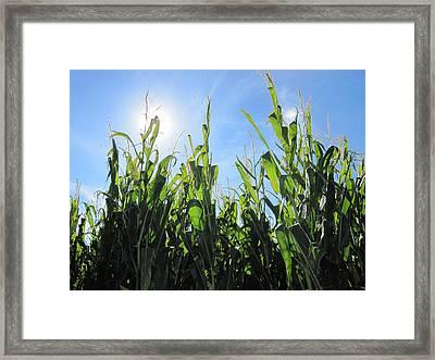 Heaven In Corn Framed Print by Amanda Powell