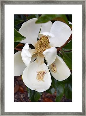 Heaven Scent Magnolia Blossom Framed Print