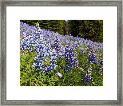 Heavenly Blue Lupins Framed Print by Theresa Tahara