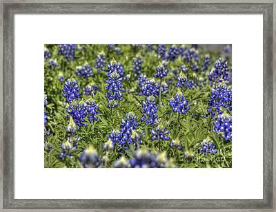 Heavenly Bluebonnets Framed Print