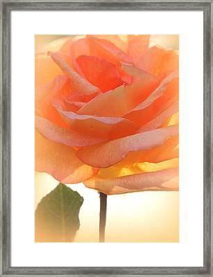 Heaven's Peach Rose Framed Print