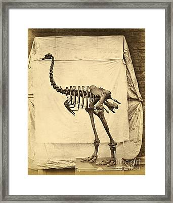 Heavy Footed Moa Skeleton Framed Print