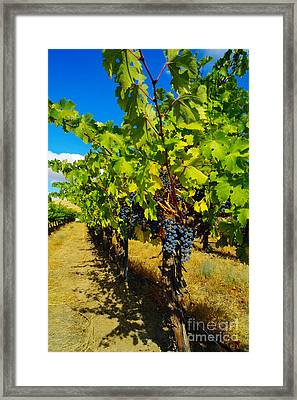 Heavy On The Vine At The High Tower Winery  Framed Print by Jeff Swan
