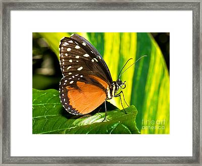 Hecale Longwing Butterfly Framed Print