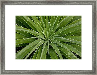 Framed Print featuring the photograph Hechtia Argentea by Scott Lyons