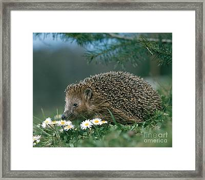 Hedgehog With Flowers Framed Print by Hans Reinhard