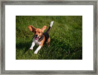 Heey-yaah. Happy Puppy Beagle Framed Print by Jenny Rainbow