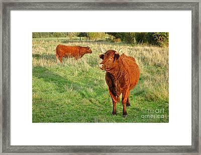 Heifer Bulls Framed Print by Olivier Le Queinec