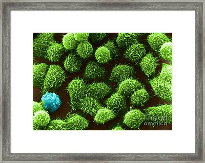 Hela Cells, Sem Framed Print by Keith R. Porter